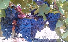 Kalemi vinove loze - Vinske sorte