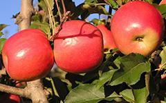 Sadnice kalemovi jabuke