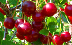 Sadnice kalemovi višnje