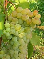 Sadnice vinove loze - Stona sorta Demir kapija