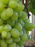 Sadnice vinove loze - Stona sorta Gročanka