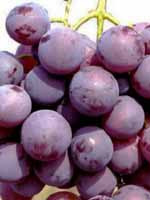 Sadnice vinove loze - Stona sorta Kardinal
