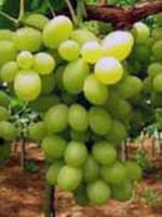 Sadnice vinove loze - Stona sorta Muskat Italija