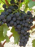 Sadnice vinove loze - Stona sorta Karmen