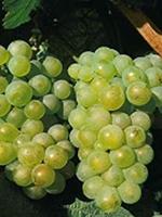 Sadnice vinove loze - Stona sorta Lasta