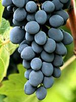 Sadnice vinove loze - Stona sorta Moldava