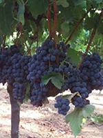 Sadnice vinove loze - Stona sorta Ribijer