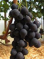 Sadnice vinove loze - Stona sorta Stražinski