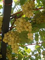 Sadnice vinove loze - Stona sorta Viktorija
