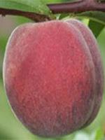 Sadnice breskve - breskva Redskin