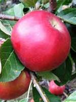 Sadnice jabuka - jabuka Ajdared