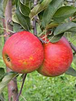 Sadnice jabuka - jabuka Elstar