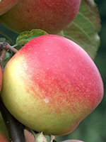Sadnice jabuka - jabuka Jonagold