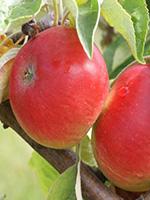 Sadnice jabuka - jabuka Kolačara