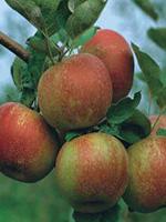 Sadnice jabuka - jabuka Kožara
