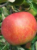 Sadnice jabuka - jabuka Melroze