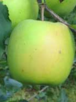 Sadnice jabuka - jabuka Mucu
