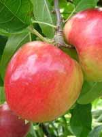Sadnice jabuka - jabuka Prima