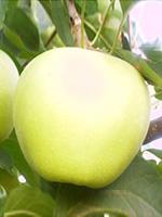 Sadnice jabuka - jabuka Zlatni Delišes klon B