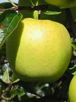Sadnice jabuka - jabuka Zlatni Delišes