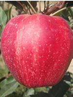 Sadnice jabuka - jabuka Gala