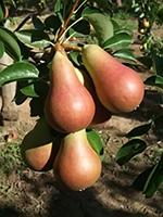 Sadnice krušaka - kruška Karmen