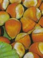 Sadnice lešnika - lešnik Ludolf