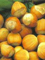 Sadnice lešnika - lešnik Rimski