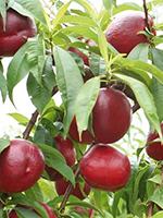 Sadnice nektarina - nektarina Fantazija