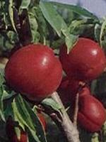 Sadnice nektarina - nektarina Kaldezi 2002
