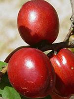 Sadnice nektarina - nektarina Big Top