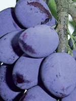 Sadnice šljiva - šljiva Čačanska rodna